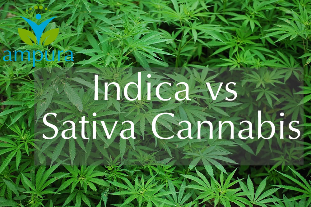 Cannabis Sativa vs Cannabis Indica - carousel projects